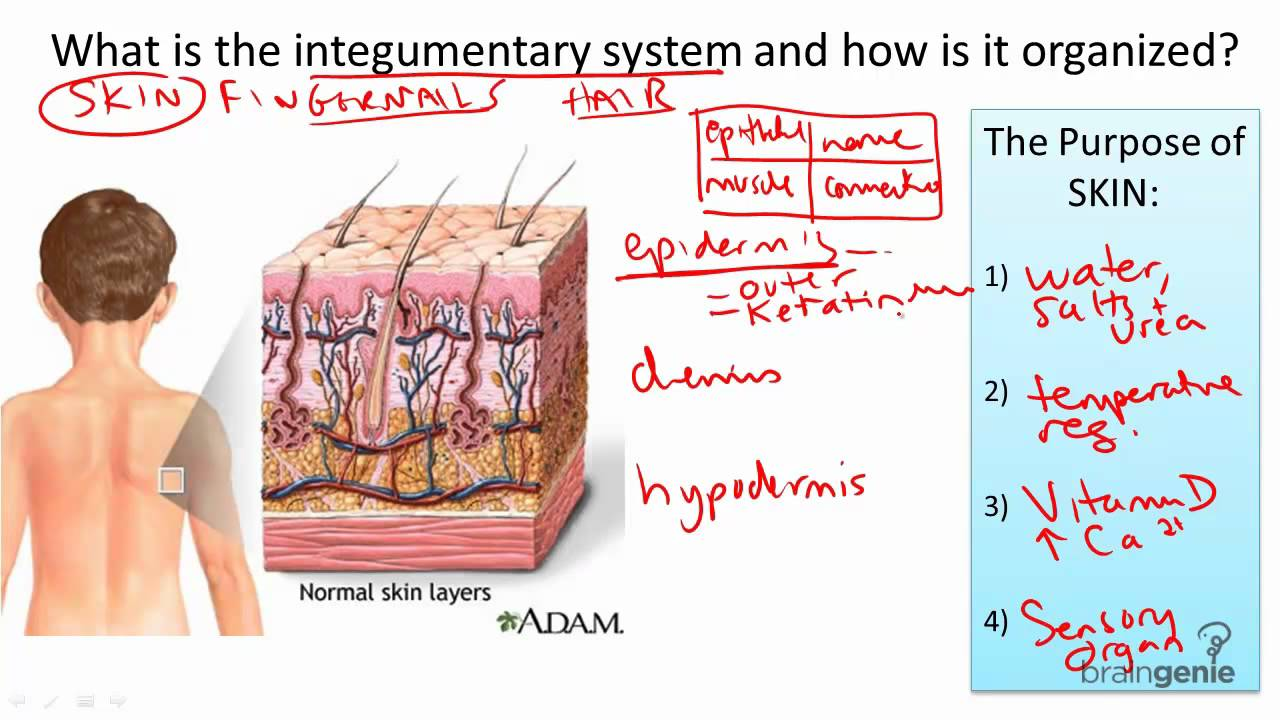 8 9 integumentary system structure and function [ 1280 x 720 Pixel ]