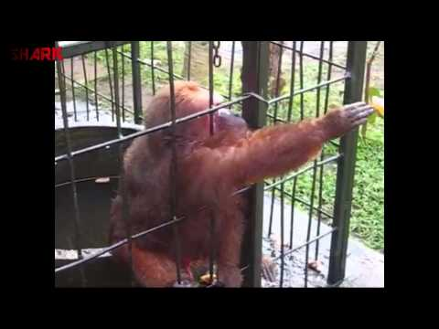 Ghetto Monkey Eating Bananas (Funny Voiceover)