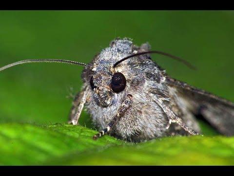 Вопрос: Бывают ли бабочки вредителями?