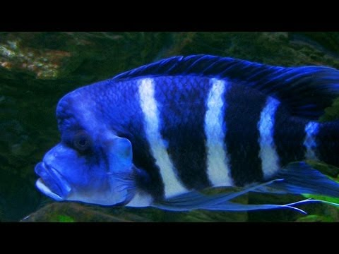 Cyphotilapia Gibberosa Blue Zaire - The Bluest Of All Frontosa