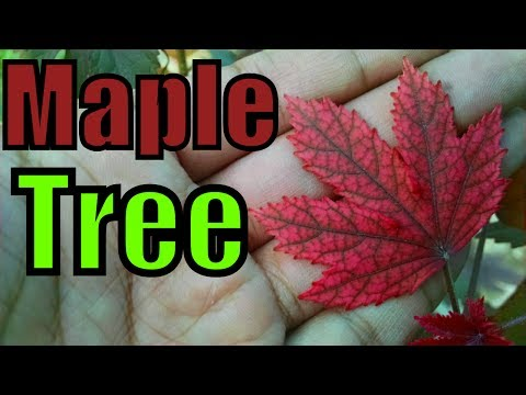 How to Care for a Maple Tree | Baby Maple Tree | Small Leaf Maple (Urdu/hindi)