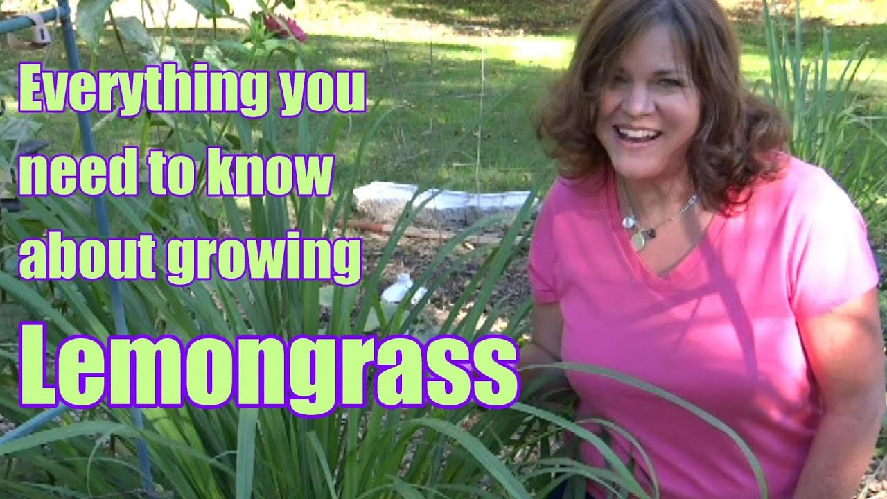 Lemongrass Everything You Need To Know About Growing Harvesting Propagation Youtube