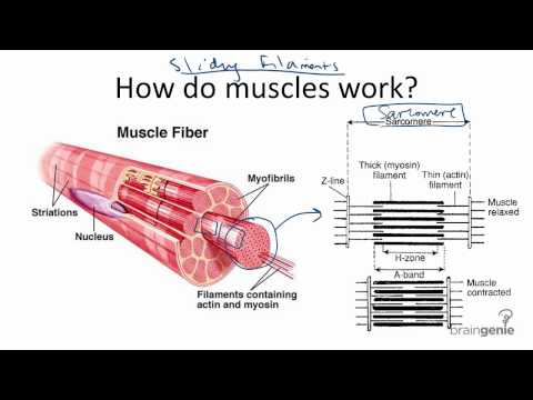 8.4.3 How Muscles Work - Sliding Filament Theory