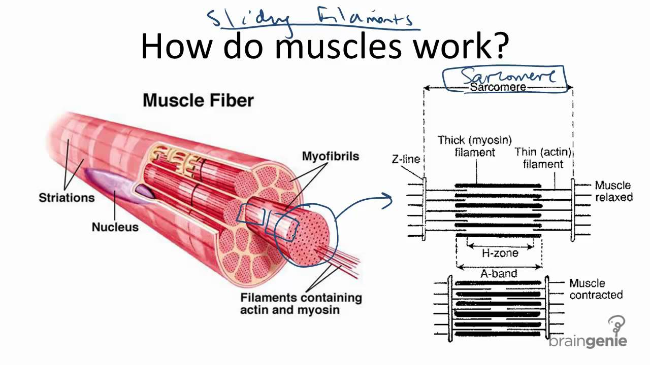 8 4 3 How Muscles Work Sliding Filament Theory Youtube