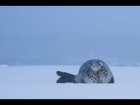 Antarctica: Crabeater seal shows off