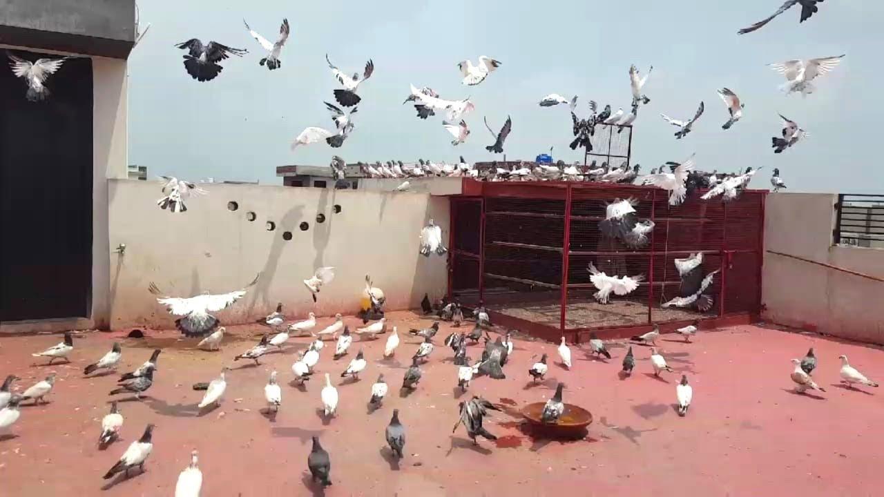 Training New Baby Pigeons Paewazi Chat || Hashim Mahmood Pigeons