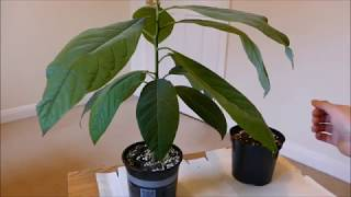 Pinkerton avocado tree care