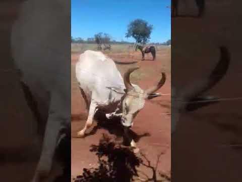 Capataz Manão solta vaca brava