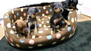 関西ミニチュアピンシャー子犬販売→ http://www.atwan.net/searchdog/mi...