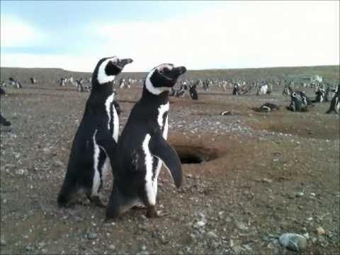 Magellanic Penguins - Isla Magdalena, Patagonia, Chile