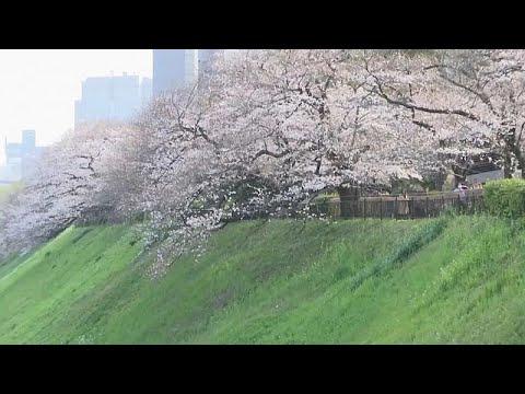 ciliegio fiori sito di incontri internazionali selvaggio sito di incontri