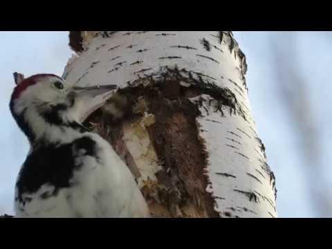 Вопрос: Почему дятел закрывает глаза во время удара клювом по дереву?