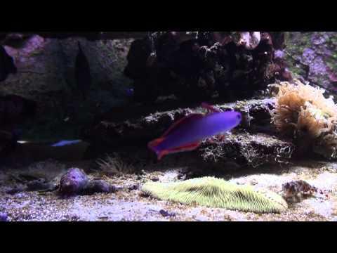 Nemateleotris Decora Elegant Firefish
