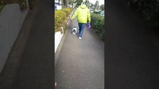 尻尾下がる事無く楽しい散歩?母さんとどう違う…