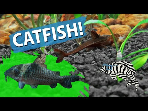 RED LIZARD CATFISH & CORY CATS!!!