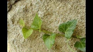видео Обзор вьющихся растений для дачного участка