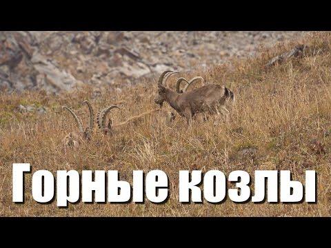 Сибирский горный козел - Siberian ibex - Capra sibirica