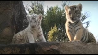The White Tiger Cub - first 2 months, Tiger Canyons