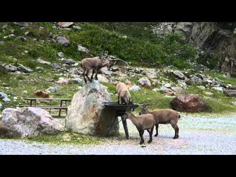 Alpine Ibex in the Maritime Alps