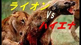 ライオンVsハイエナの獲物の取り合い 【1匹じゃ叶わない】真実映像.
