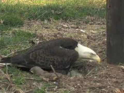 Carolina Raptor Center: Eaglets 1 - Huntersville, NC