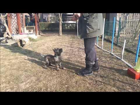 TIREx - Kinland cairn terrier