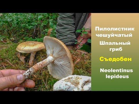 Шпальный гриб Пилолистник чешуйчатый Съедобный.