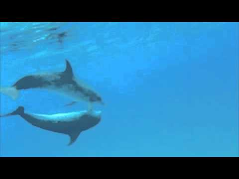 Dolphins mating in the wild | Doovi  Dolphins mating...