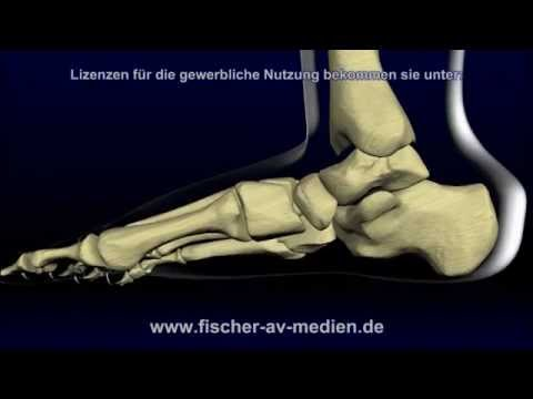 Der Fuß - kurz und bündig - Animation - Anatomie - Foot - YouTube
