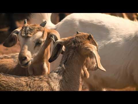 Delish - Meedo Goat