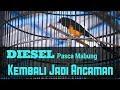Murai Batu Diesel Pasca Mabung Kembali Jadi Ancaman  Mp3 - Mp4 Download