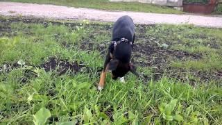 Собака щиплет травку