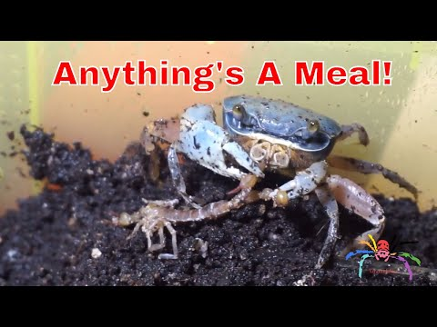 Crab Eating Scorpion - Seems A Waste To Throw It!