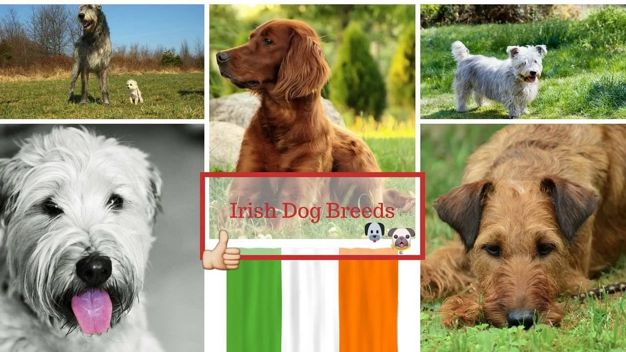 Irish Dog Breeds Youtube