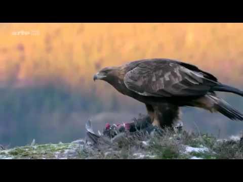 L'aigle royal documentaire