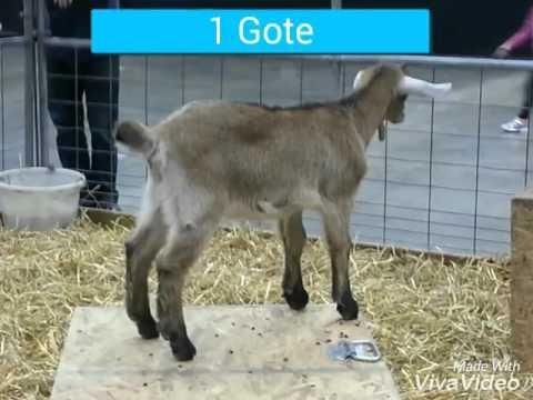 Gote Video