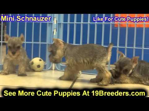 Miniature Schnauzer, Puppies, For, Sale, In, Cheyenne, Wyoming, WY, Casper, Laramie,