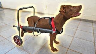Minha Cachorra Esta Usando Cadeira De Rodas