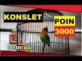 Fantastis Lovebird Konslet Jagal Tembus  Poin  Mp3 - Mp4 Download