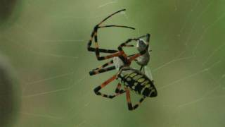 Banana Spider Catching Prey (wasp)  Canon xha1s