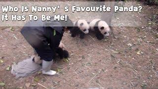 お姉さんの足は渡さない!飼育員さんを取り合う子パンダたちの日常的風景