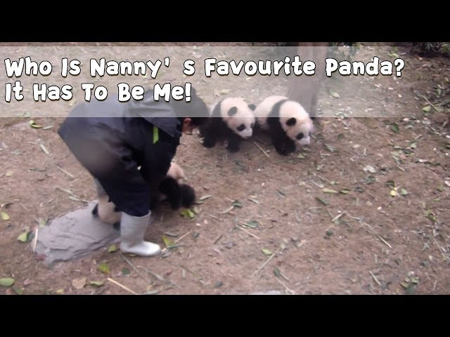 Who Is Nanny's Favourite Panda? It Has To Be Me! | iPanda