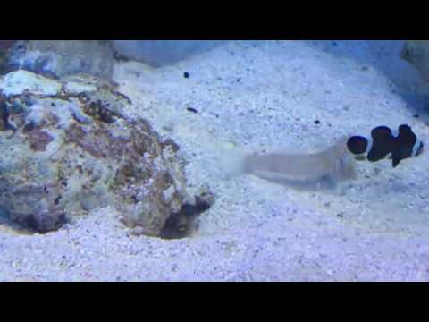 Tropical Fish Spitting Sand