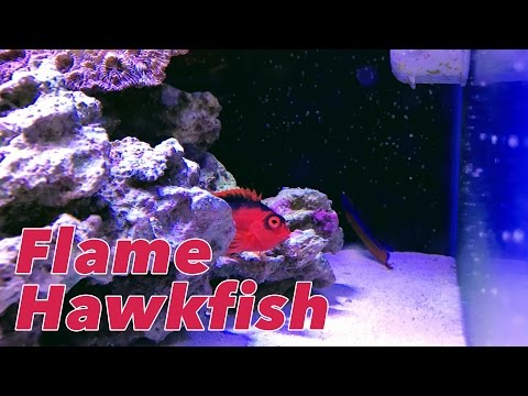 Picking Up A Flame Hawkfish From The Shark Reef