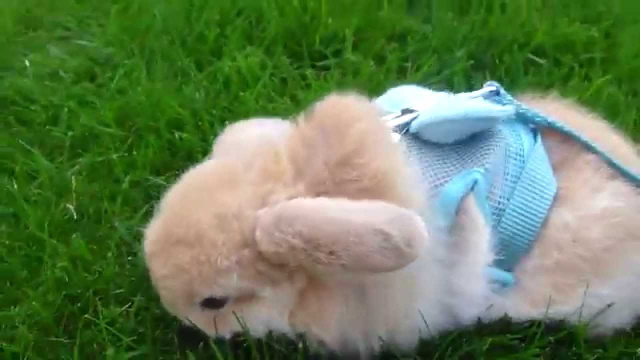 miniature lop eared bunny   qq summer   day out 1   youtube