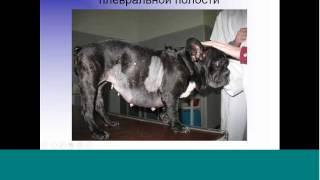 Экстренная торакальная хирургия в клинике мелких домашних животных(Вебинар