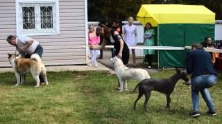 Выставка собак г.Клин 19.09.15 Бест 5 группы(, 2015-09-19T18:06:53.000Z)