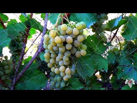Сорта Винограда Цитронный Магарача. Виноград 2015