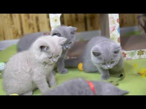 Британские котята в возрасте 8 недель (Litter- M2)
