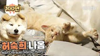 Is She A Siberian Husky..? Really?!